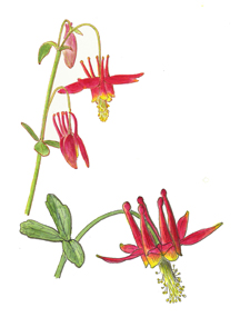 Vorobik watercolor of Aquilegia formosa, red columbine