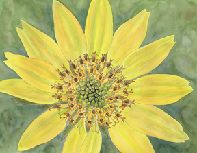 balsamroot watercolor by vorobik