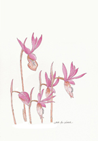 Fairy Slipper Orchid for small cards, by Vorobik