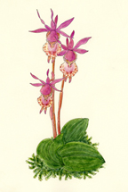 Fairy Slipper Orchid for large card, by Vorobik