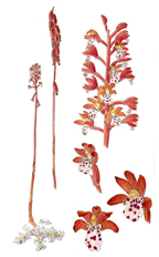 Coralroot Orchid, by Vorobik