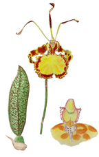 Butterfly Orchid, by Vorobik