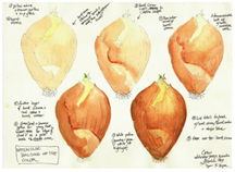 Onion Watercolor Exercise, by Vorobik