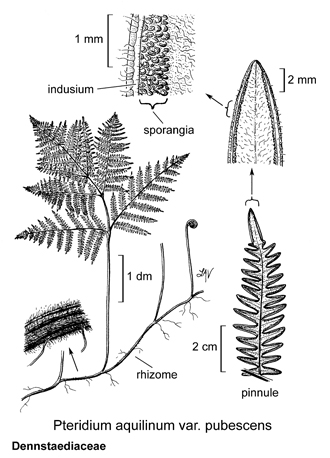 Pteridium drawing copyright UC Regents