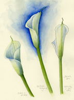 Calla Lily by Vorobik
